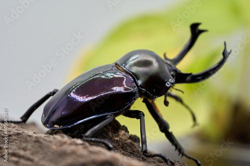 Fotografía Phalacrognathus stag beetle