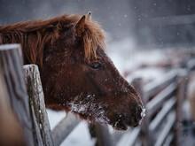 冬の道産子