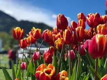 Close-up Of Red Tulips In Field Against Sky