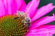 Leinwandbild Motiv Close-up Of Honey Bee On Pink Flower