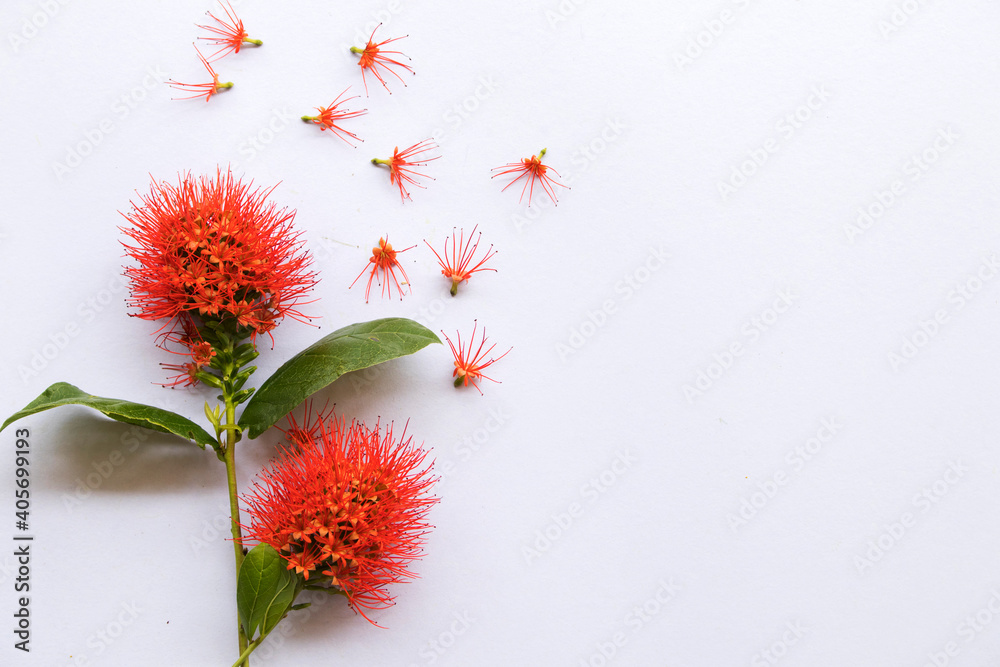 Fototapeta red flora local flower of asia thailand arrangement flat lay postcard style on background white