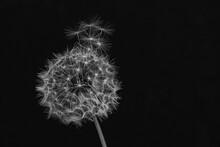 Dandelion Puff Spreading Seeds Black And White Landscape