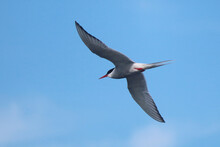 Low Angle View Of Tern Flying