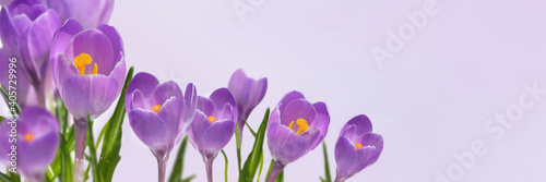 Obraz violet crocus blooming  in panoramic view on pink background - fototapety do salonu