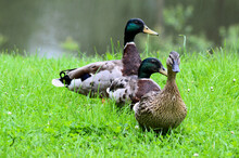 Ducks In A Field
