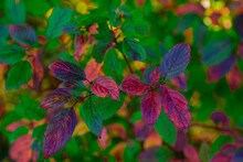 Colorful Colors In Autumn , Ornamental Shrub In The Forest With Autumnally Colored Leaves