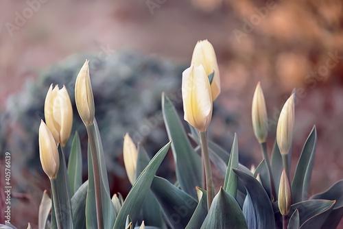 Fotografie, Obraz blooming yellow tulips in the spring garden