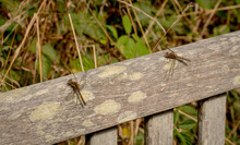 Two Damselflies On A Wooden Bench