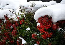 Is A Thorny, Evergreen Shrub Of Compact And Tidy Habit With Glossy, Oval, Dark Green Leaves. In Late Spring To Early Summer, A Profusion Of White Flowers Held In Dense Clusters Cover The Spiny Branch