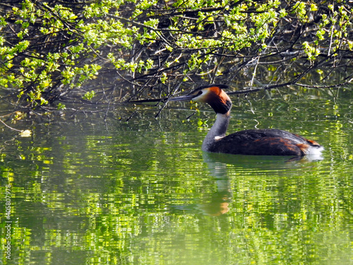 Tablou Canvas Great Crested Grebe on the water