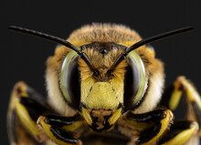 Bee Close-up On A Dark Background