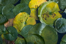 Green And Yellow Leaves Of Water Lily Flowers On Lake Surface