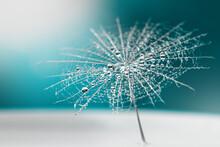 Dew Drops On A Dandelion Seed