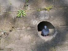 鳩、 巣,