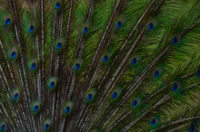 Closeup Shot Of Peacock Feathers