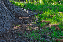 Closeup Shot Of Tree Roots Growing Into Grassy Area