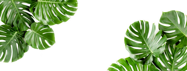 Banner of green tropical palm leaves Monstera on white background. Flat lay, top view.