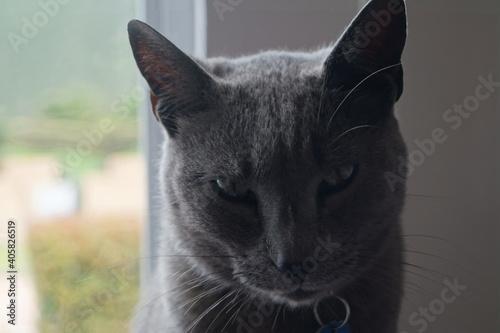 Photo La mirada profunda del gato gris