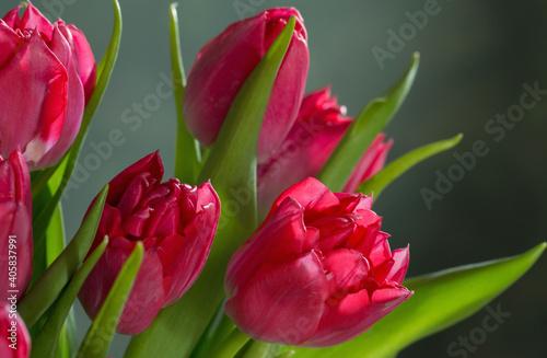 Obraz red tulips on green background - fototapety do salonu