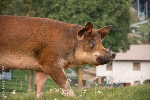 Cuadros en Lienzo Selective focus shot of an adult pig walking on grass