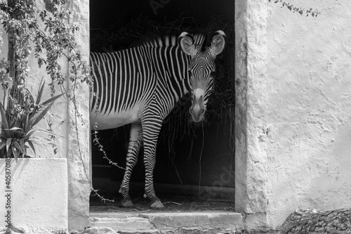 Fototapeta premium Zebra Standing By A Door In Zoo