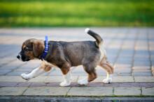 Little Dog Walking On Sidewalk.
