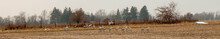 Sandhill Crane Migration In A Canadian Farmer Field. Winter Migration
