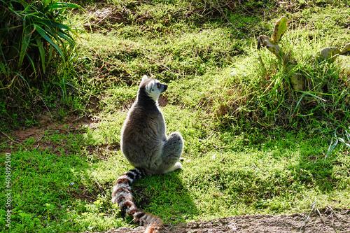 Fototapeta premium A small lemur sitting on the grass