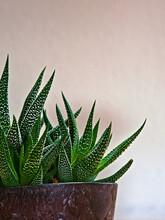 """Teilansicht Einer Pflanze Der Art """"Haworthia Fasciata"""" Mit Topf, Eine Unterart Von Sukkulenten, Vor Einem Weißen Hintergrund. Grüne Blätter Mit Weißen Flecken"""