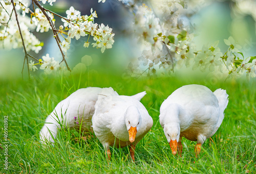 white geese in the garden close up Fototapet