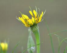 Tragopogon Dubius Grows In Nature In Summer