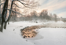 Winter Lake With A Narrow Strip Of Water And Many Ducks In The City Park On A Strong Frosty Day. Gatchina.