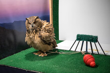 Male Eurasian Eagle Owl In An Exhibition Enclosure With Perch And Toys