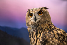 Close Up Male Eurasian Eagle Owl Front View