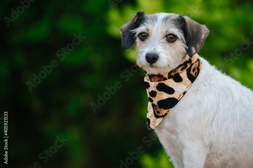 Fotografering Closeup shot of Jack Russell Terrier with a cheetah collar against a green bokeh