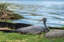 Blue Crane - Anthropoides Paradiseus Sitting On Egg By The Lake