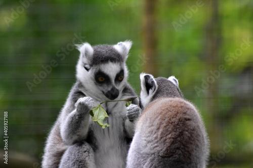 Fototapeta premium Close-up Of Lemur Looking Away Outdoors
