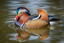Colorful Mandarin Duck On The Water