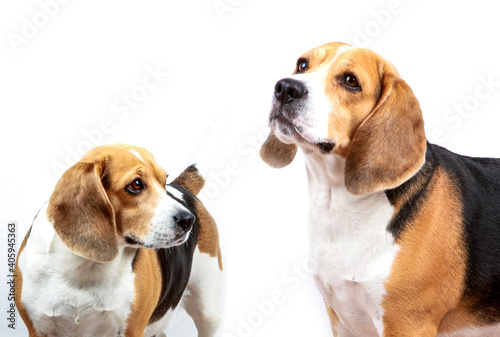 Canvas Beagle Dog Against White Background