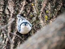 Closeup Shot Of A White-breasted Nuthatch On A Tree Trunk