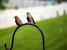 Male And Female House Finches Perched Above A Feeder