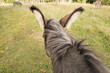 A Donkey Head And Neck From Behind. The Donkey Looks At 2 More Donkeys. His Mane Has Whirls.