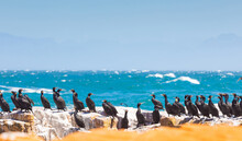 Flock Of Double-crested Cormorant Birds On A Rocky Shore Of A Wavy Beautiful Sea In South Africa