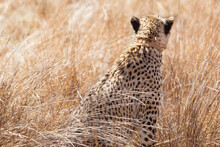 Back View Of A Beautiful African Cheetah On Safari In A South African Game Reserve