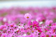 Leinwandbild Motiv Close-up Of Pink Cosmos Flowers