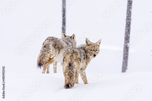 Cuadros en Lienzo A Pair Of Coyotes Traveling Through The Snowy Landscape Of Yellowstone National Park