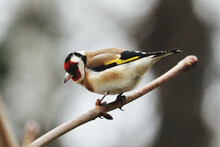 Close-up Of Gold Finch Perching On Branch