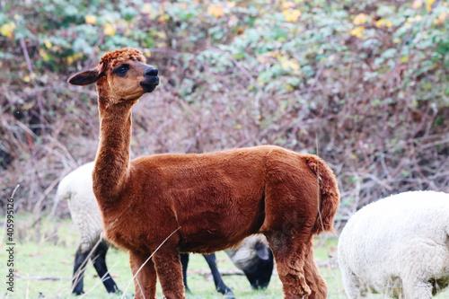 Fototapeta premium Lamas Standing In A Field