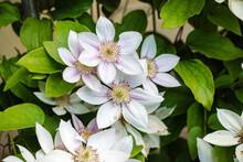 Clematis Flowers In The Garden