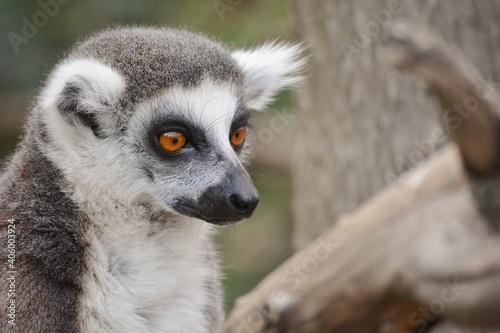 Fototapeta premium Close-up Of Lemur Looking Away